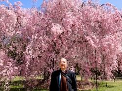 京都御所と御室桜