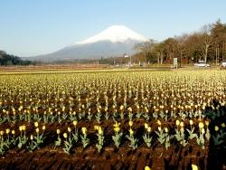 世界遺産の富士山と花畑