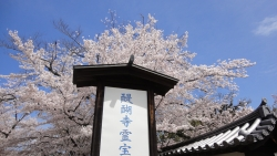 京都祇園の桜