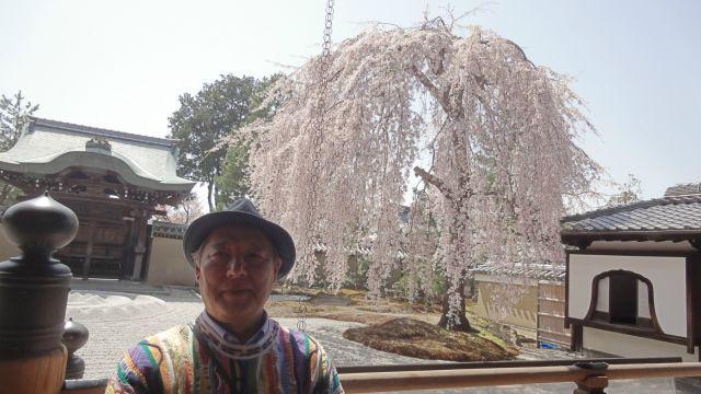 京都・高台寺の枝垂れ桜