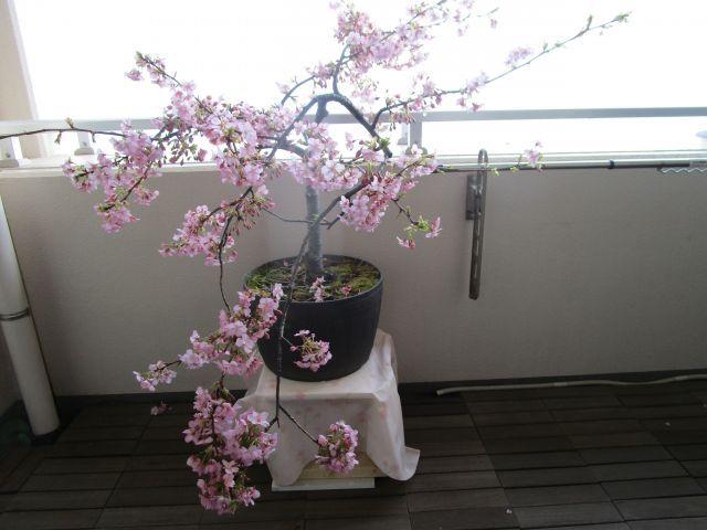 春の便りの河津桜と菜の花